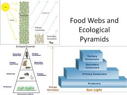 food web pyramid food webs and ecological pyramids ppt video online download