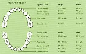 Which Baby Teeth Fall Out Chart Modern Dentistry Canberra Deciduous Or Baby Teeth