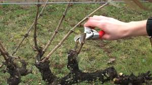 Spur Pruning Grapevines Mp4