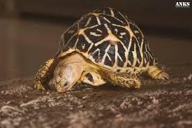 Indian Star Tortoise Diet Chart Anks Photography Indian Star Tortoise Anks Photography