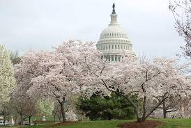 「ポトマック 桜」の画像検索結果