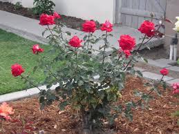 Image result for rose bushes