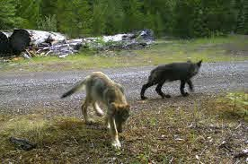 Specific Wolves and Wolf Packs in Oregon – Rogue Pack