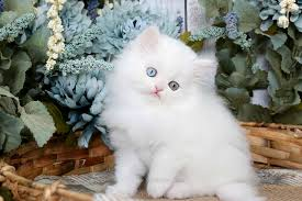 cute white fluffy kittens for sale. Simple White White Persian Kitten In Cute Fluffy Kittens For Sale S