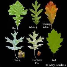 Oak Tree Comparison Chart Oak Identification Chart Bing Images White Oak Tree