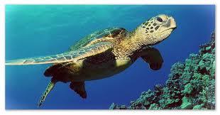 Доклад про черепах Морская черепаха