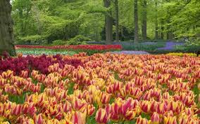 Tulips In The Keukenhof Gardens
