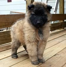 belgian tervuren cute puppy