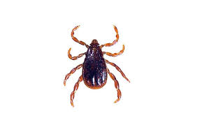 A Closer Look At The Different Types Of Ticks Igenex Tick Talk