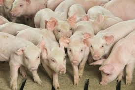 To Finish Meet The Needs Of Your Wean To Finish Pigs Pork Business