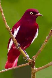 picture of red bird. Exellent Red What A Beautiful Red Bird Throughout Picture Of Red Bird
