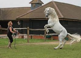 white horse rearing. Perfect Horse Rent White Horse Rearing 2 On I