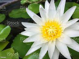 White Lotus Blume Stockfoto und mehr ...
