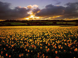 Flower field sunset Fb Cover Photo Flower Field At Sunset Desktop Nexus Nature Flower Field At Sunset Sunsets Nature Background Wallpapers On