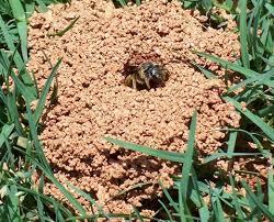 ground dwelling bees ground nesting bees lawneq blog