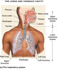 my biomedical notebook respiratory physiology the structure of the respiratory system two lungs covered by visceral pleural and connect to the inner thorax and diaphragm
