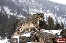 Животный мир Информационный портал о Кыргызстане новости  Животный мир Кыргызстана