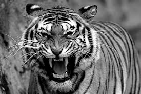 white tiger growling. Modren White Drunk Man Gnawed To Death By A White Tiger Warningu2026Graphic U0026 Disturbing  VIDEO Via Lisafordblog On Tiger Growling O
