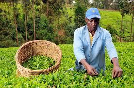 Image result for tea farmers kenya