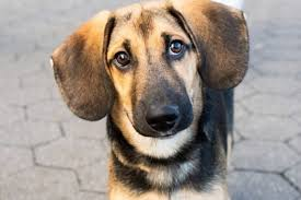 Introducing The German Shepherd Beagle Mix Beagle Shepherd