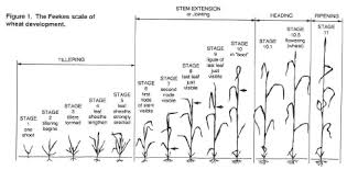 Winter Wheat Growth Stages Chart Cr 7668 Foliar Fungicides And Wheat Production In Oklahoma