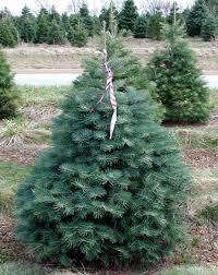 Live Christmas Tree Varieties  SoHoTreescom  5 Xmas Tree Types Of Fir Christmas Trees
