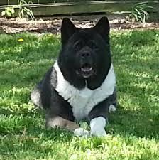 big dog diablo. diablo son wolf owned by brad and kelly in va 5 best shows big dog diablo ,