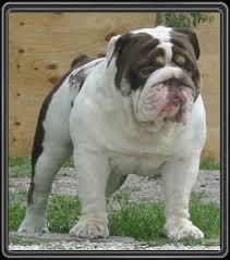 english bulldog stud tri color chocolate
