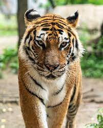 350+ Bengal Tiger Pictures [HD ...