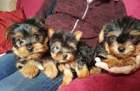 cute yorkie puppies for sale. Delighful Yorkie Playful Yorkie Puppies For Sale On Cute Puppies For Sale M