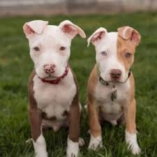 pitbull dog puppies. Unique Pitbull How Many Puppies Can A Pitbull Have For Dog U
