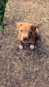 brown red nose pitbull puppies. Wonderful Pitbull What Type Of Pit Bull Is My Dog  Light Brown Puppy To Brown Red Nose Pitbull Puppies O