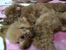 shenzun teacup poodle coo