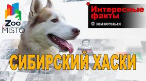 <b>Сибирский Хаски</b> - Интересные факты о породе - YouTube