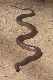 Queensland Snakes Identification Chart Eastern Brown Snake Wikipedia