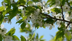 how to identify diffe plum trees
