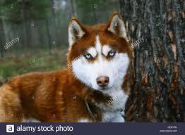 red husky puppy blue eyes.  Red Red Husky  Dog With Blue Eyes Stock Image For Puppy Blue Eyes R