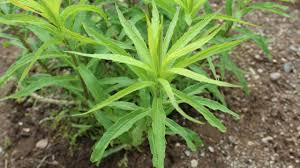 Canadian Horseweed Has Many Health Benefits
