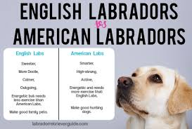 The Difference Between English Labradors And American