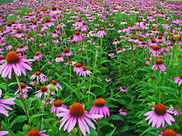 Image result for Tennessee Coneflower