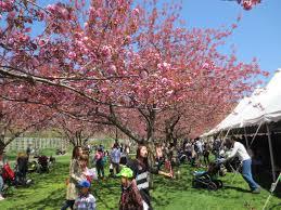 5 tips for the brooklyn botanic garden cherry blossom festival