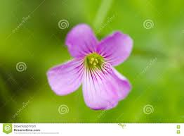 Oxalis Flower Picture Image 4628930