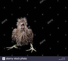 Image result for baby black-crowned night heron