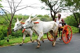 sport in rekla bullock cart race