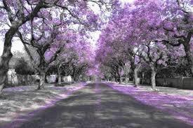 Beautiful Jacaranda Trees Lining A Street In A Town In