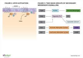 Gpcr Signaling Gpcr Pathway Signaling Pathways Biorbyt
