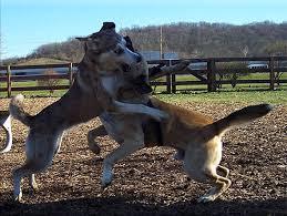 pitbull dog fights caught on tape. Beautiful Fights Dog Fights On Pitbull Caught Tape E