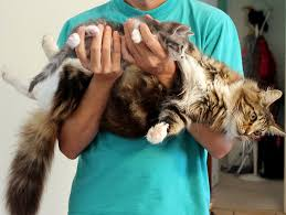 How Big Can Maine Coons Get Mainecoon Org