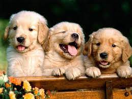 Free Puppy Dog Wallpaper - Android Apps ...