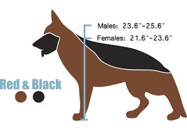 European German Shepherd Height And Weight West German Show